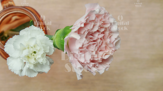 pink and white carnation flowers idigitalstock royalty free