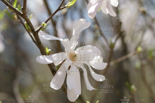 White magnolia flower idigitalstock royalty free stock images white magnolia flower idigitalstock royalty free stock images and videos mightylinksfo