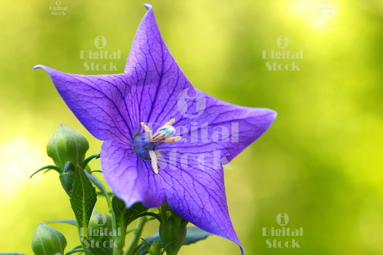 A close up of a beautiful blue Balloon flower or Platycodon gran